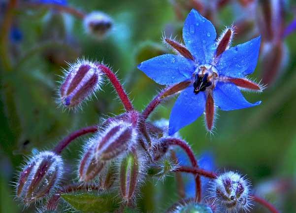 Flores comestíveis de Borragem