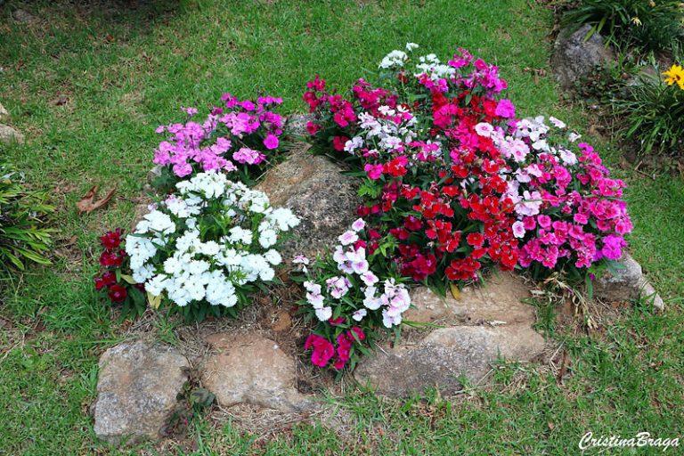 Flores comestíveis de Cravina