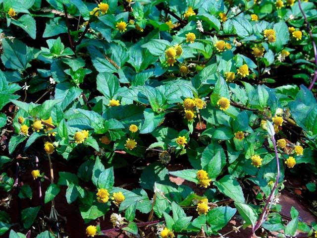 Flores comestíveis de Jambu